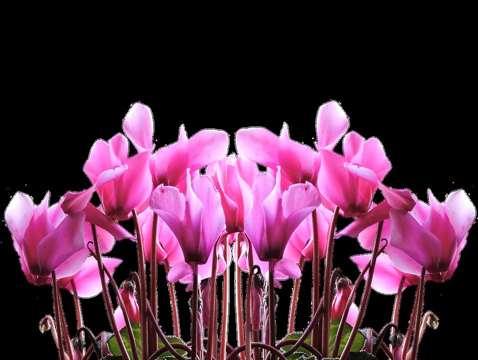 Цикламата – капризна красавица