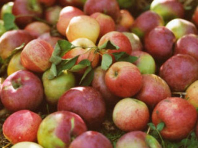 Какво лекуват ябълковите листа?