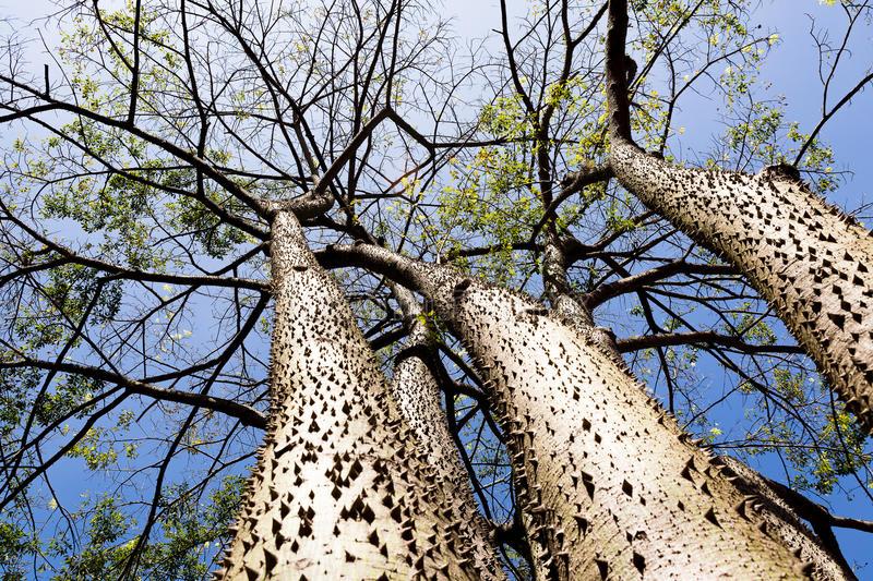 Дървото, умеещо да се взривява