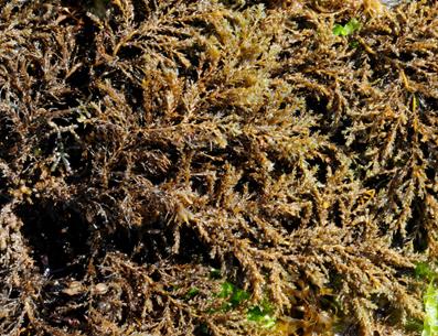 Кафяви морски водорасли – здраве от океана