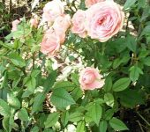 Розата – царица на цветята