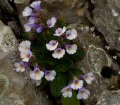 Орфеевото цвете – красотата на Родопите