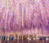 148-годишна глициния в Япония прилича на розово небе