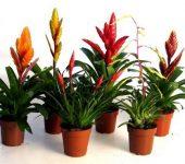 Вризея – цветоносно растение