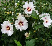 Бяла красота - бяла ружа