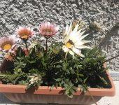 Гербер - цвете в саксия