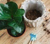 8 тайни за отглеждането на фикус лира